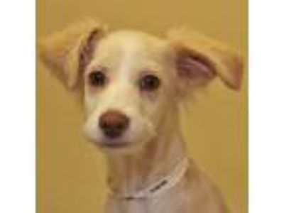 Adopt Nat King Cole a White Terrier (Unknown Type, Small) / Mixed dog in Walnut