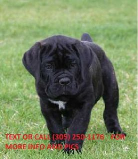 kl.kl.k.fbcbfghg We have two amazing Cane Carso puppies, a male and female. T