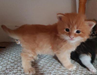 Beautiful Maine Coon Kittens.