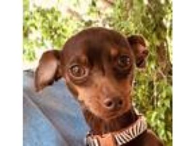 Adopt Brownie a Brown/Chocolate - with Tan Miniature Pinscher / Mixed dog in San