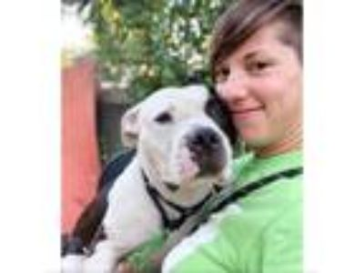Adopt Mack a Staffordshire Bull Terrier / Labrador Retriever / Mixed dog in