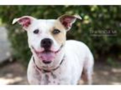 Adopt London a White - with Tan, Yellow or Fawn Boxer / Pit Bull Terrier / Mixed