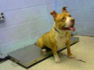 Adopt SHORTIE a Tan/Yellow/Fawn - with White American Pit Bull Terrier / Mixed