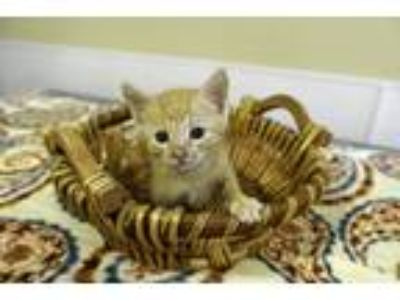Adopt Rosco a Orange or Red (Mostly) Domestic Shorthair (short coat) cat in