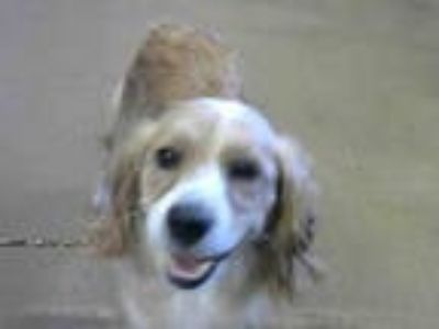 Adopt *CARMELA a Tan/Yellow/Fawn Cavalier King Charles Spaniel / Mixed dog in