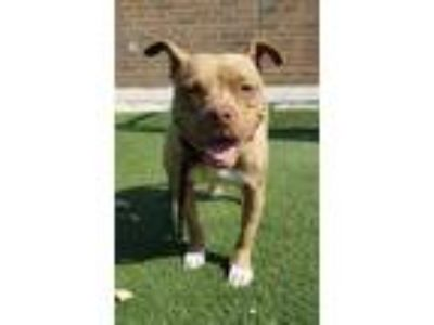 Adopt Piggles 102 a Tan/Yellow/Fawn American Pit Bull Terrier / Mixed dog in