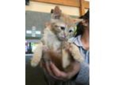 Adopt Aster a Domestic Short Hair