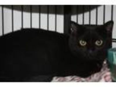 Adopt Merlo a Domestic Short Hair