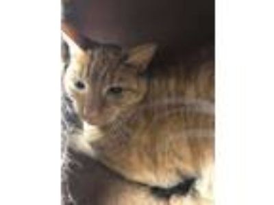 Adopt Harriett (with Chewy) a Domestic Short Hair