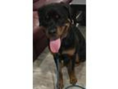 Adopt Evans a Black - with Tan, Yellow or Fawn Rottweiler / Mixed dog in Clifton