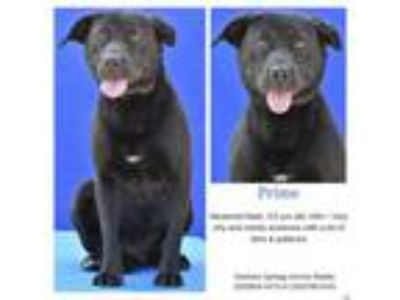 Adopt Prime a Labrador Retriever, Mixed Breed