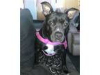 Adopt Zu-Zu in RI *Courtesy Post* a Pit Bull Terrier