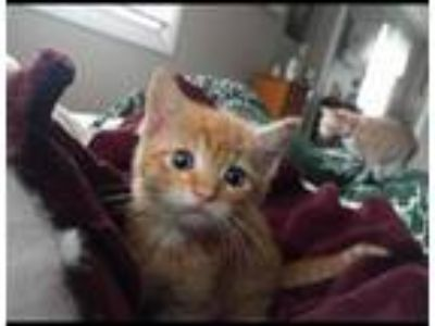 Adopt Tommy a Orange or Red Tabby Domestic Shorthair (short coat) cat in Toms