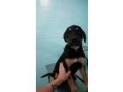 Adopt (found) Castiel a Black Labrador Retriever / Rottweiler / Mixed dog in