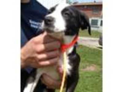 Adopt Nova a Black - with White Border Collie / Mixed dog in Chicago
