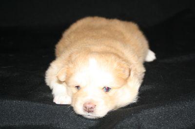 Pomsky PUPPY FOR SALE ADN-62437 - Pomsky Puppies