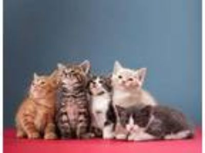 Adopt Kittens lots of them a American Shorthair, Domestic Medium Hair
