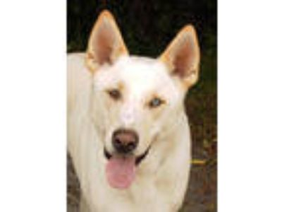 Adopt Zane a German Shepherd Dog, Husky