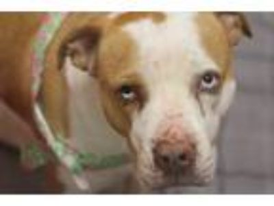 Adopt Princess Petunia a Brown/Chocolate Pit Bull Terrier / Mixed dog in
