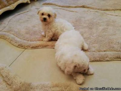 Cute Bichon Frise Puppies xx +1(801) 449