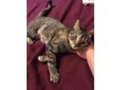 Adopt Lexi a Tortoiseshell Domestic Shorthair (short coat) cat in Riverside