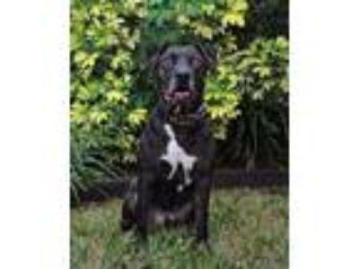 Adopt Flaco a American Staffordshire Terrier