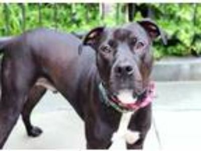 Adopt Chico a Black American Pit Bull Terrier / Mixed dog in Chicago