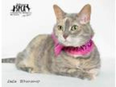 Adopt Lulu a Tan or Fawn Domestic Shorthair / Domestic Shorthair / Mixed cat in