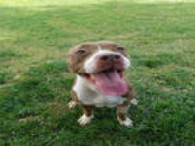 Adopt *LUCY a Brown/Chocolate - with White American Pit Bull Terrier / Mixed dog