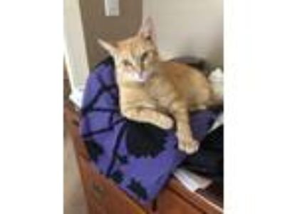 Adopt Rosie a Domestic Short Hair, Tabby