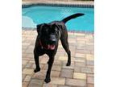 Adopt BOOKIE a Labrador Retriever