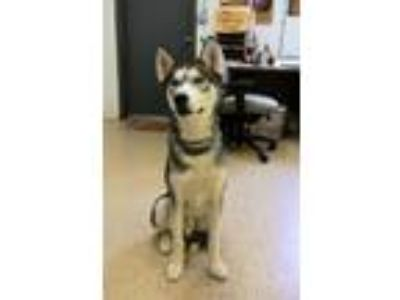 Adopt Jack Jack a Siberian Husky / Mixed dog in York, SC (25886663)
