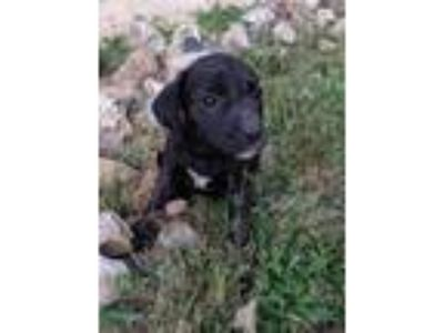 Adopt Sissy a Black - with White Beagle / Hound (Unknown Type) / Mixed dog in