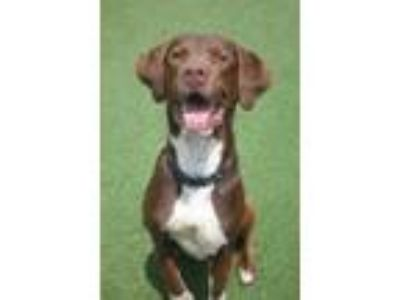 Adopt Buster Brown a Brown/Chocolate Labrador Retriever / Mixed dog in North