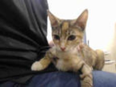 Adopt KIKI a Calico or Dilute Calico Domestic Shorthair / Mixed (short coat) cat