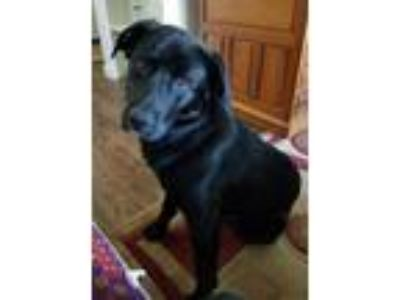 Adopt Shadow a Black Labrador Retriever / German Shepherd Dog / Mixed dog in
