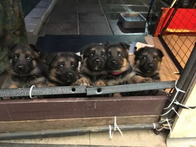 German Shepherd Dog PUPPY FOR SALE ADN-78950 - Working Line German Shepherds Puppy Cam Link