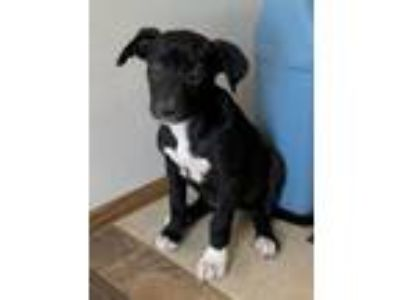 Adopt Ariel puppy a Labrador Retriever, Carolina Dog