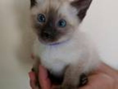 Seal Point And Choc Point Kittens Available