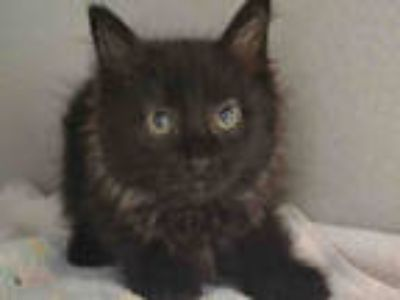 Adopt SMUDGE a All Black Domestic Longhair / Mixed (long coat) cat in Aurora