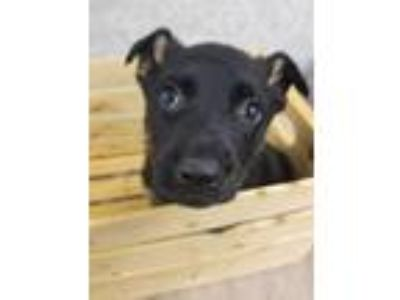 Adopt LUKE a Black German Shepherd Dog / Australian Shepherd / Mixed dog in