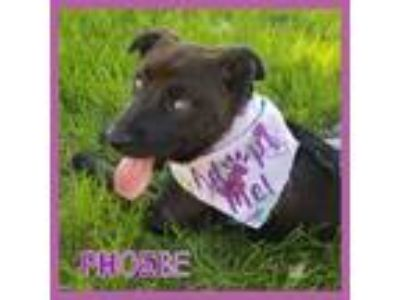 Adopt Phoebe a Brown/Chocolate Labrador Retriever / Terrier (Unknown Type