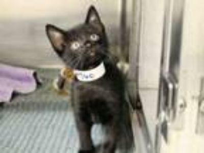 Adopt ROLFE a Domestic Short Hair