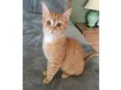 Adopt Cheddar a Tabby, Domestic Short Hair