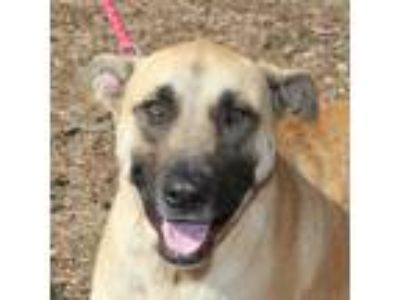 Adopt Dolly a Tan/Yellow/Fawn - with Black Anatolian Shepherd / Shepherd