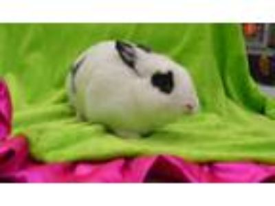 Adopt BANICULA a Black Other/Unknown / Mixed rabbit in Fruit Heights