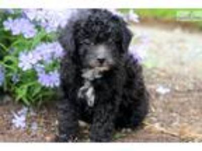Marty - Toy Poodle Male