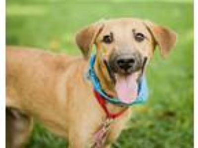 Adopt York a Brown/Chocolate Labrador Retriever / Hound (Unknown Type) / Mixed