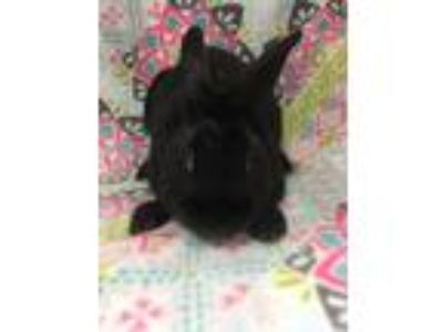 Adopt Midnight a Black Other/Unknown / Mixed (short coat) rabbit in Youngstown