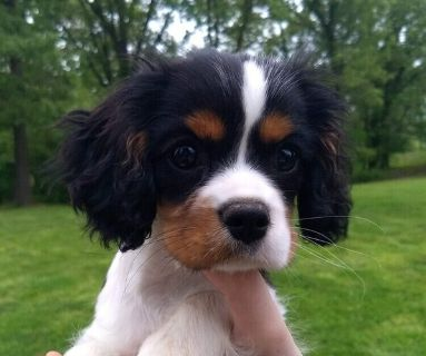 Cavalier King Charles Spaniel PUPPY FOR SALE ADN-131079 - Anna